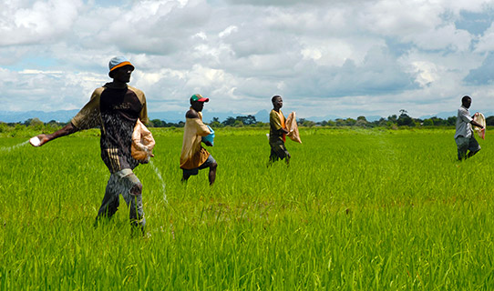 Several farmers in a green rice paddy field as they spread fertiliser by hand in Tanzania.